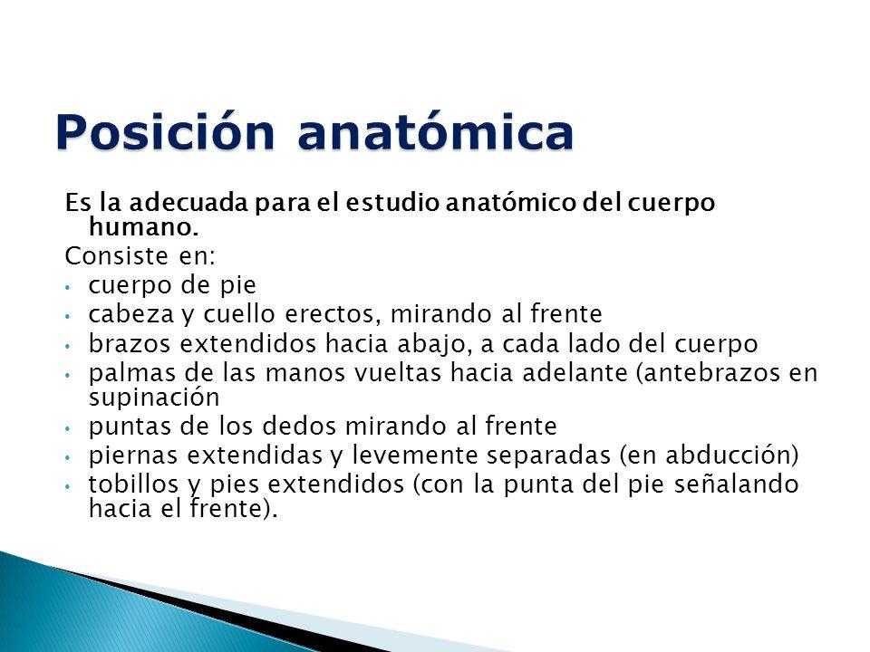 Es la adecuada para el estudio anatómico del cuerpo humano.