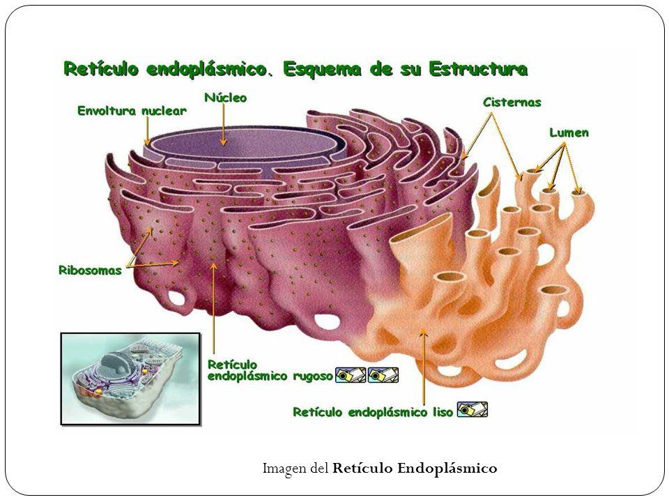 Imagen del Retículo Endoplásmico