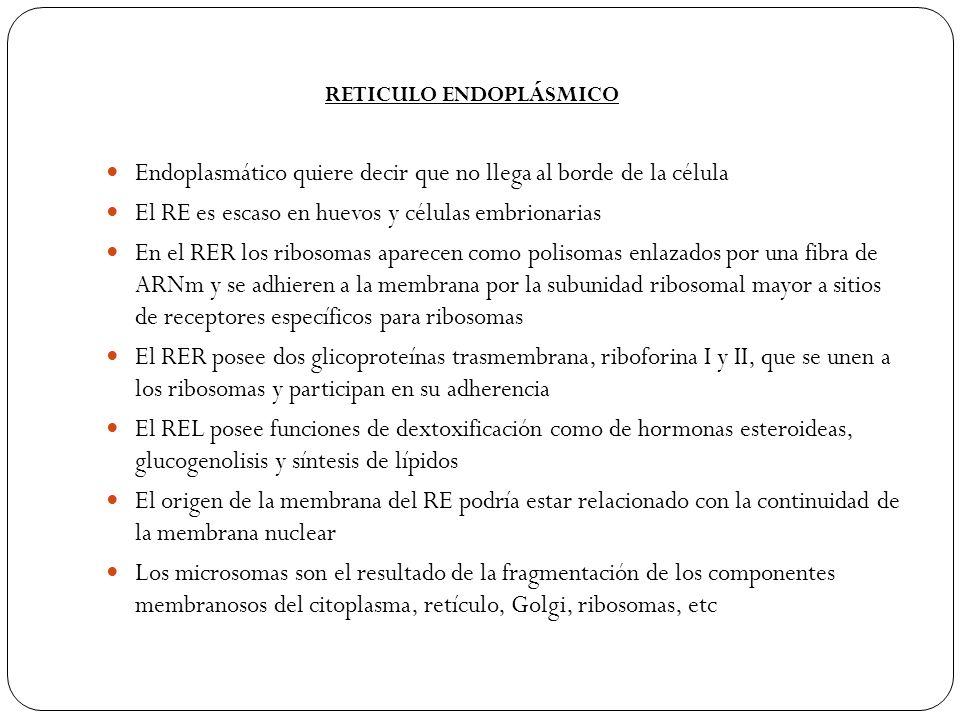 Endoplasmático quiere decir que no llega al borde de la célula El RE es escaso en huevos y células embrionarias En el RER los ribosomas aparecen como polisomas enlazados por una fibra de ARNm y se adhieren a la membrana por la subunidad ribosomal mayor a sitios de receptores específicos para ribosomas El RER posee dos glicoproteínas trasmembrana, riboforina I y II, que se unen a los ribosomas y participan en su adherencia El REL posee funciones de dextoxificación como de hormonas esteroideas, glucogenolisis y síntesis de lípidos El origen de la membrana del RE podría estar relacionado con la continuidad de la membrana nuclear Los microsomas son el resultado de la fragmentación de los componentes membranosos del citoplasma, retículo, Golgi, ribosomas, etc RETICULO ENDOPLÁSMICO