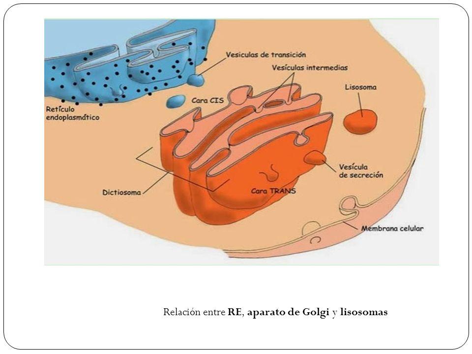Relación entre RE, aparato de Golgi y lisosomas