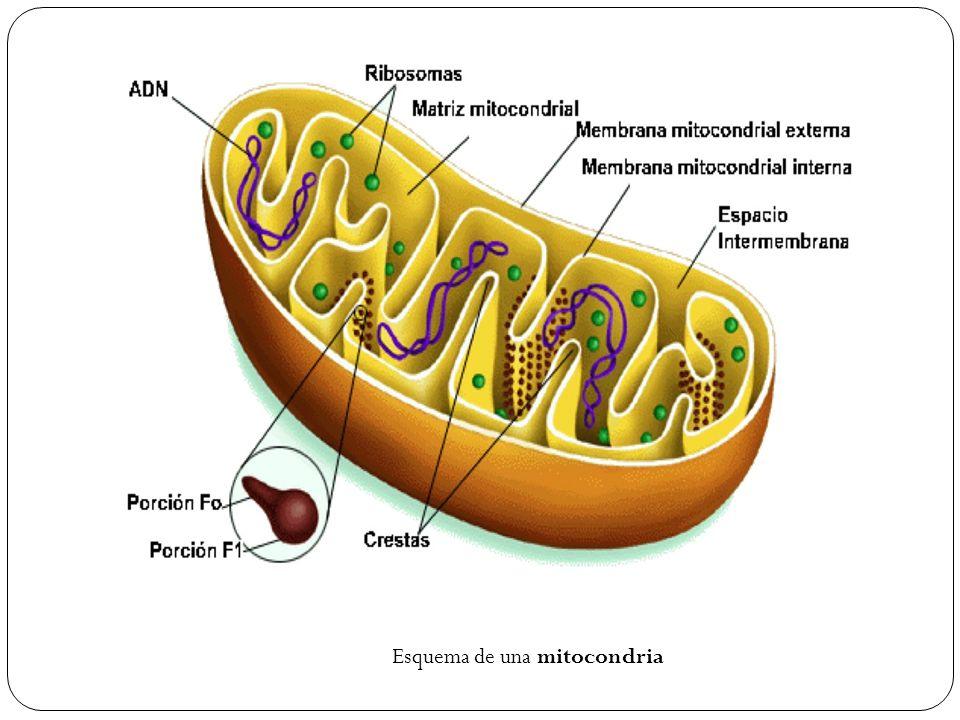 Esquema de una mitocondria