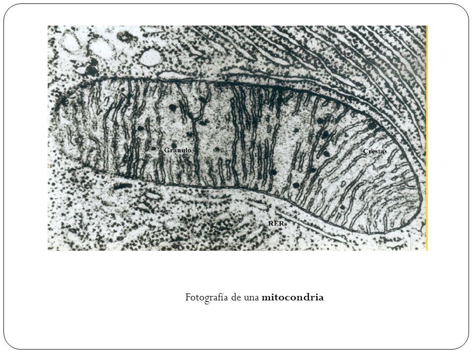 Fotografía de una mitocondria