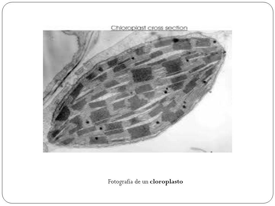 Fotografía de un cloroplasto