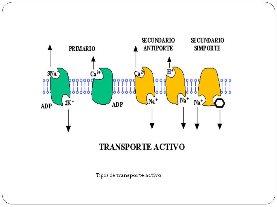 Tipos de transporte activo