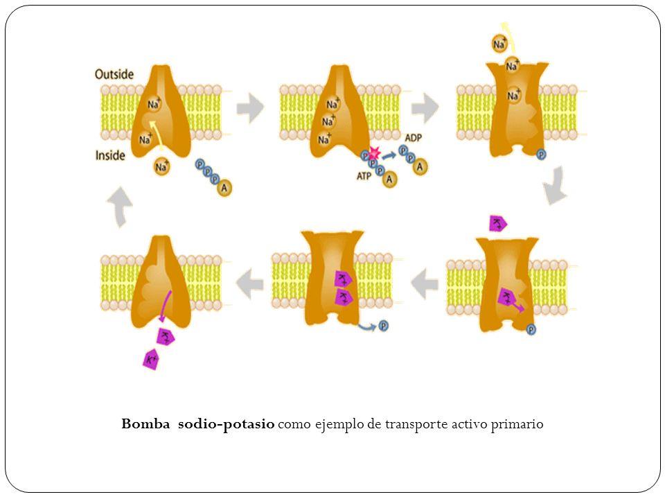 Bomba sodio-potasio como ejemplo de transporte activo primario