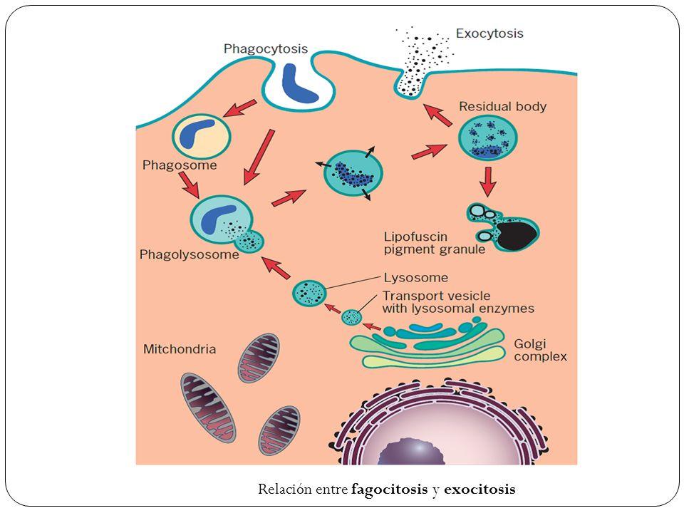 Relación entre fagocitosis y exocitosis