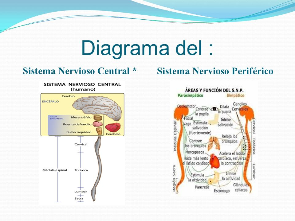 Magnífico Marcado Diagrama Del Sistema Nervioso Bosquejo - Imágenes ...