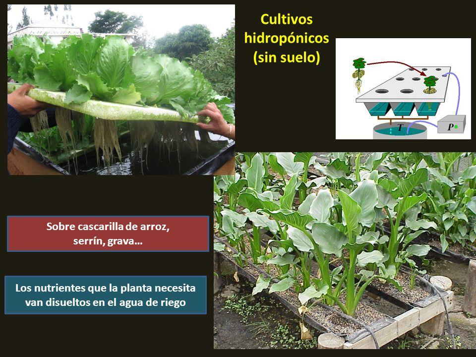 Cultivos hidropónicos (sin suelo) Sobre cascarilla de arroz, serrín, grava… Los nutrientes que la planta necesita van disueltos en el agua de riego