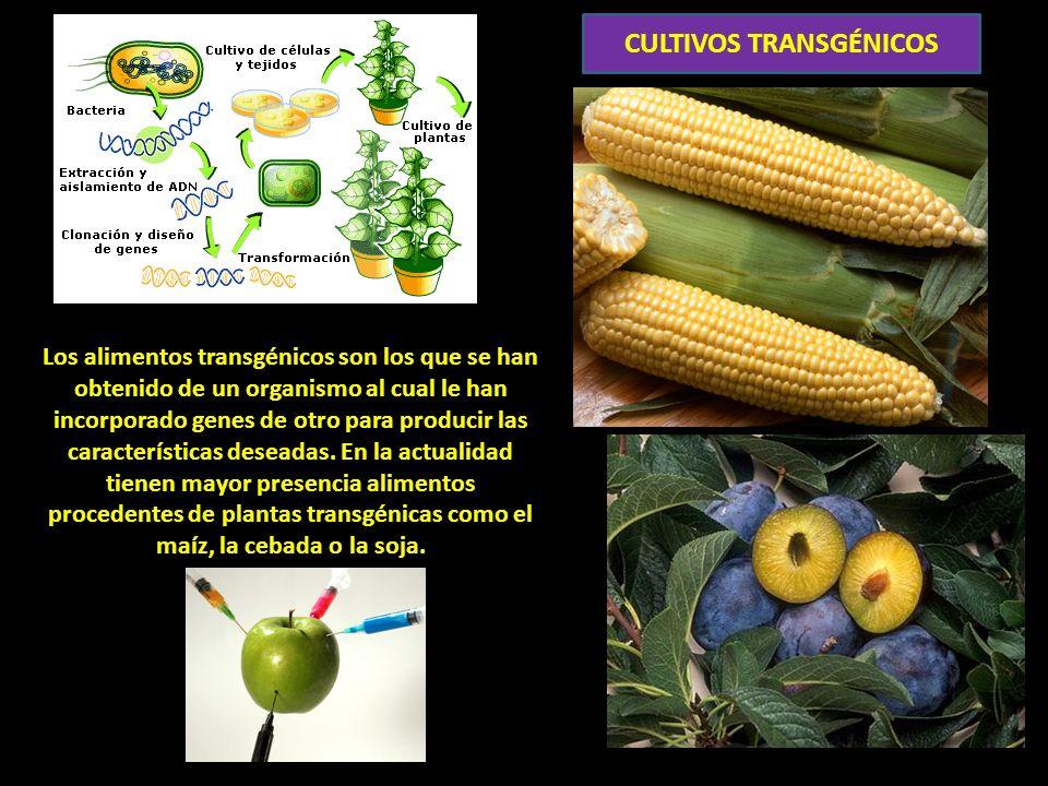Los alimentos transgénicos son los que se han obtenido de un organismo al cual le han incorporado genes de otro para producir las características deseadas.
