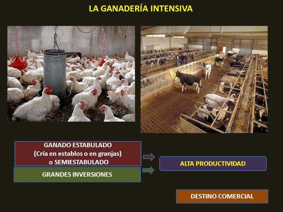 LA GANADERÍA INTENSIVA GANADO ESTABULADO (Cría en establos o en granjas) o SEMIESTABULADO GRANDES INVERSIONES DESTINO COMERCIAL ALTA PRODUCTIVIDAD
