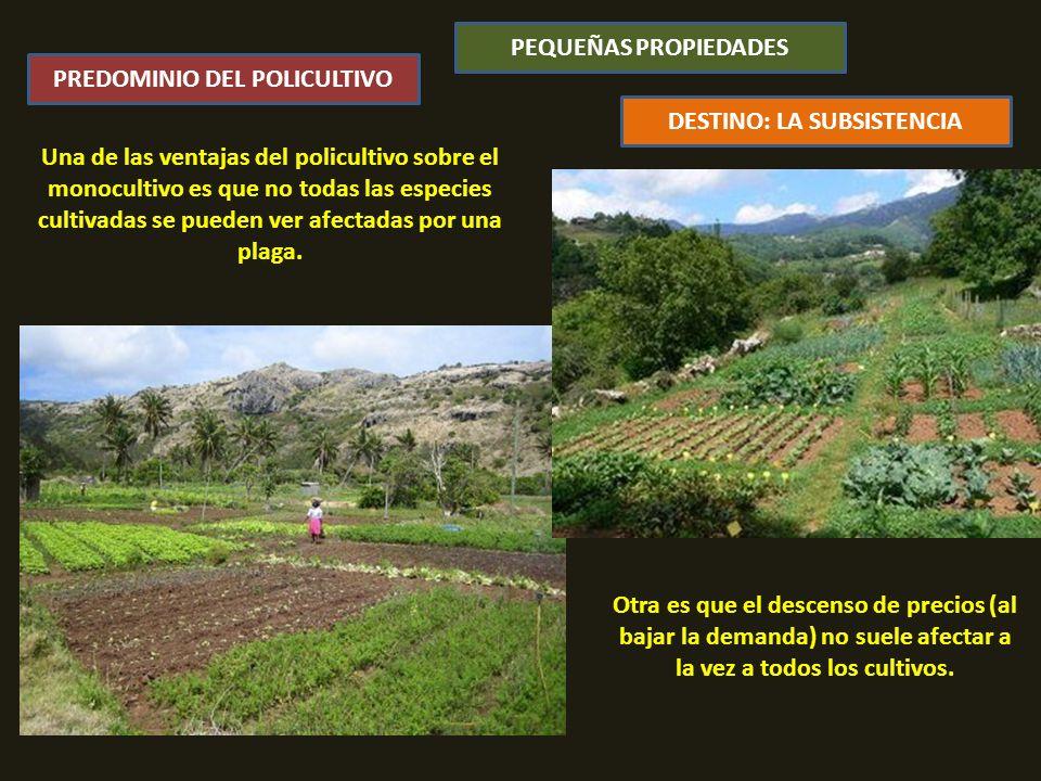 Una de las ventajas del policultivo sobre el monocultivo es que no todas las especies cultivadas se pueden ver afectadas por una plaga.