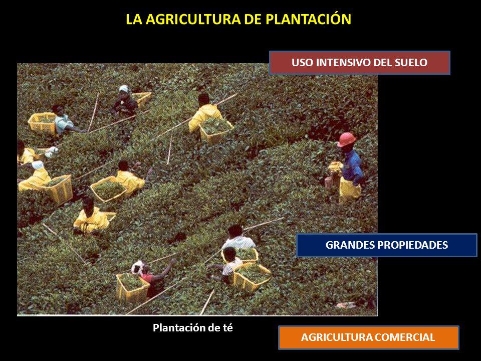Plantación de té LA AGRICULTURA DE PLANTACIÓN USO INTENSIVO DEL SUELO GRANDES PROPIEDADES AGRICULTURA COMERCIAL