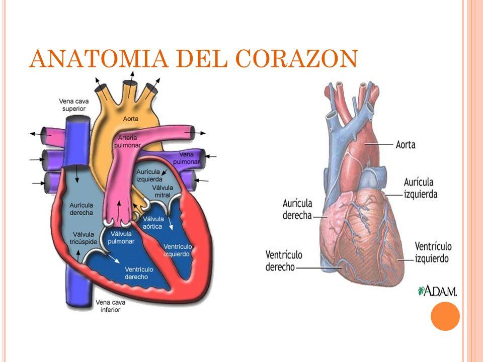Excepcional Válvula Mitral Anatomía Tee Componente - Imágenes de ...