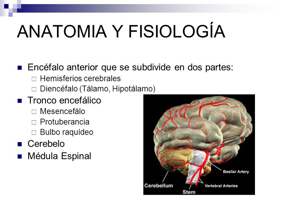 Lujoso Anatomía Y Fisiología Partes Del Cerebro Inspiración ...