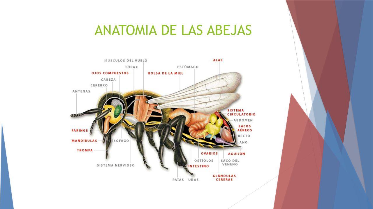 Único Anatomía De Una Abeja De La Miel Motivo - Imágenes de Anatomía ...