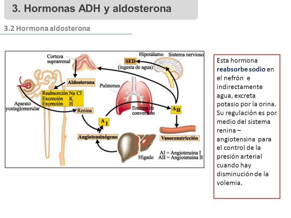 3. Hormonas ADH y aldosterona 3.2 Hormona aldosterona Esta hormona reabsorbe sodio en el nefrón e indirectamente agua, excreta potasio por la orina. S