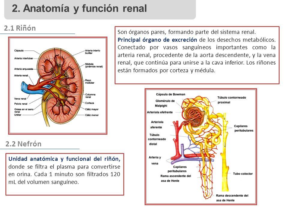 2. Anatomía y función renal 2.1 Riñón 2.2 Nefrón Son órganos pares, formando parte del sistema renal. Principal órgano de excreción de los desechos me