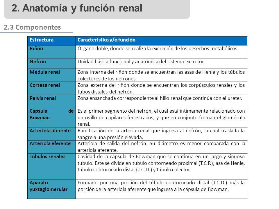 2. Anatomía y función renal 2.3 Componentes EstructuraCaracterística y/o función RiñónÓrgano doble, donde se realiza la excreción de los desechos meta