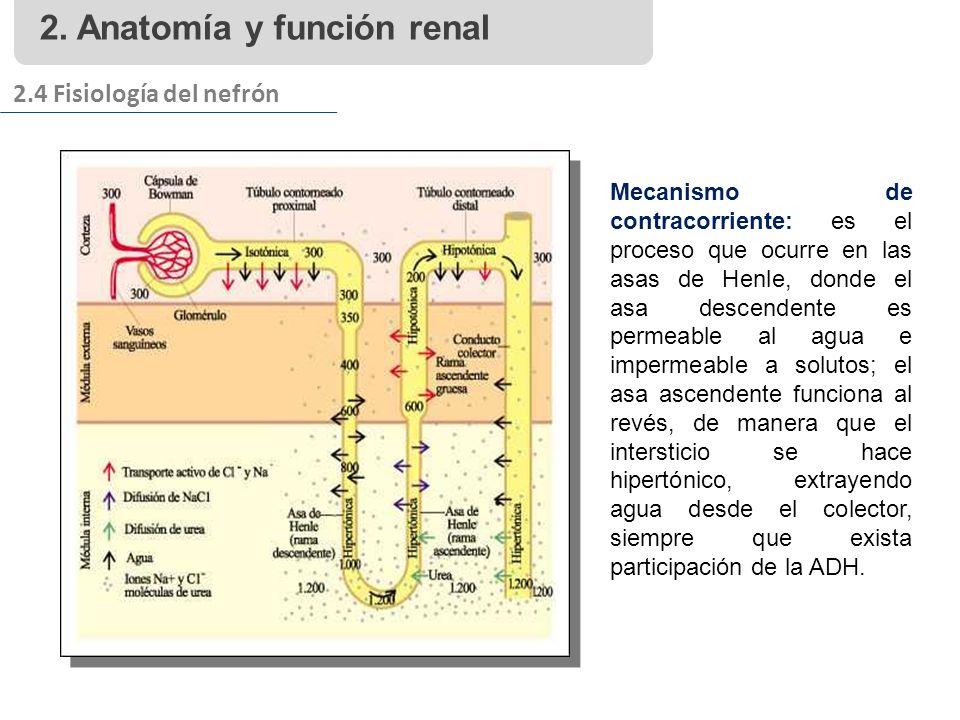 2. Anatomía y función renal 2.4 Fisiología del nefrón Mecanismo de contracorriente: es el proceso que ocurre en las asas de Henle, donde el asa descen