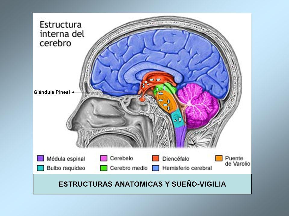 Lujo La Apnea Del Sueño Anatomía Friso - Imágenes de Anatomía Humana ...