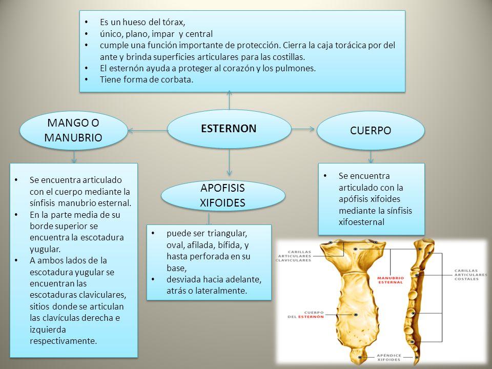 Huesos TORAX - ppt descargar