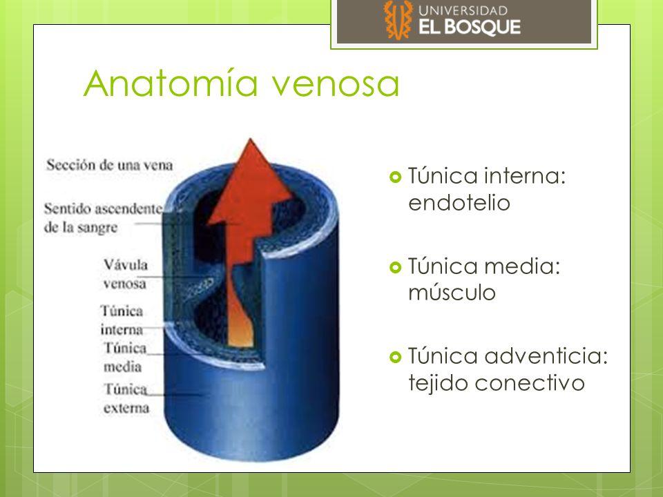 Anatomía venosa  Túnica interna: endotelio  Túnica media: músculo  Túnica adventicia: tejido conectivo