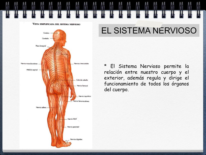 LA FUNCIÓN DE RELACIÓN EN LOS SERES HUMANOS. EL SISTEMA NERVIOSO ...