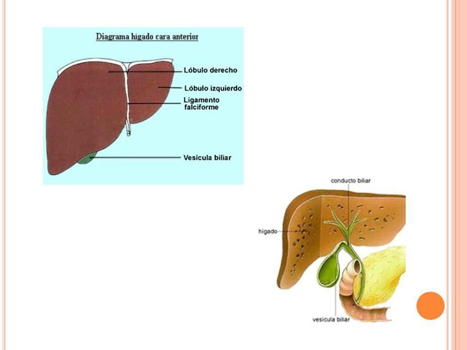 Hígado y Vesícula Biliar -Localización. -Medidas. VB= Peras Hígado ...