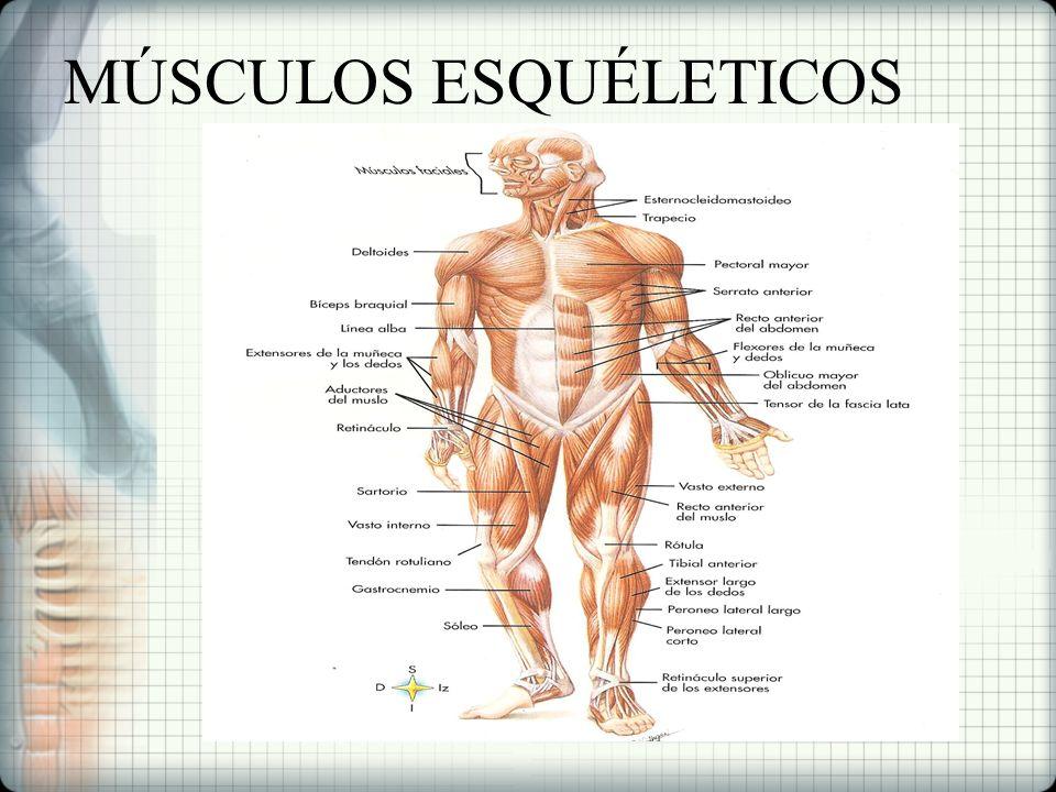 Hermosa Número De Músculos En El Cuerpo Humano Foto - Anatomía de ...