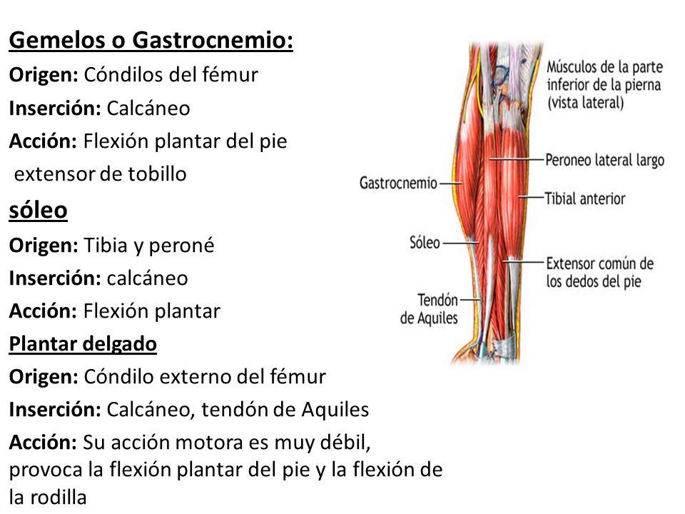 Grupo Muscular Posterior. Grupo muscular posterior Poplíteo Origen ...