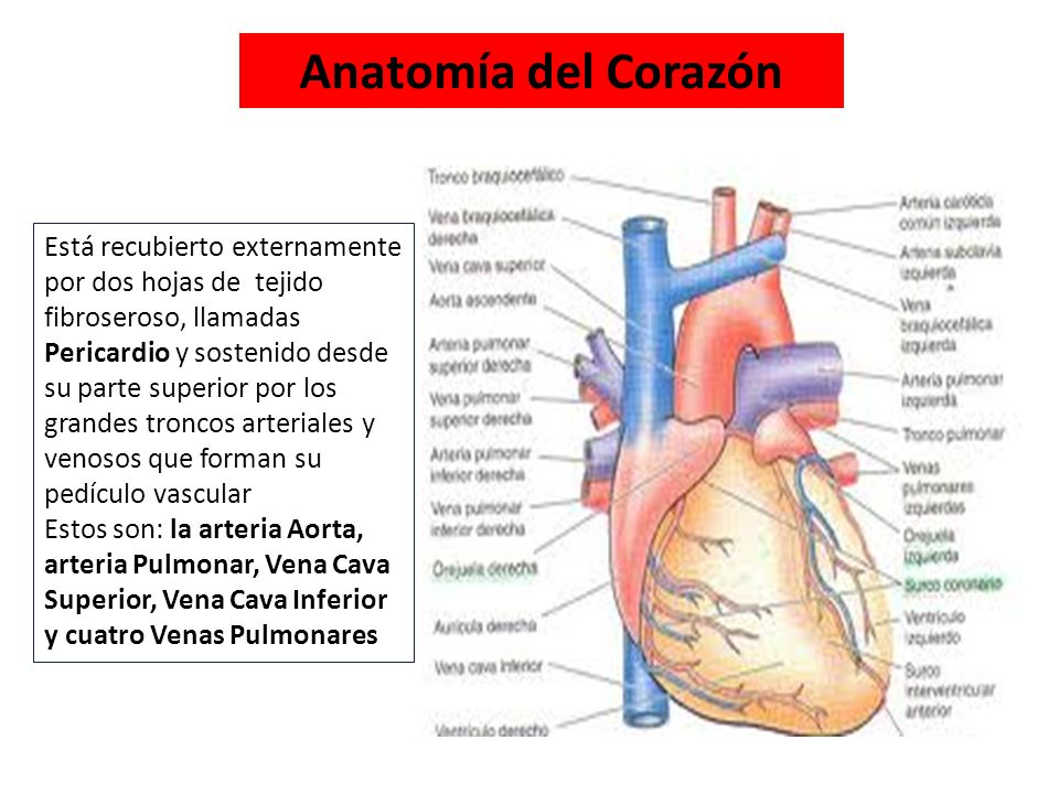 Contemporáneo Corazón Etiqueta Del Diagrama De La Anatomía Interior ...