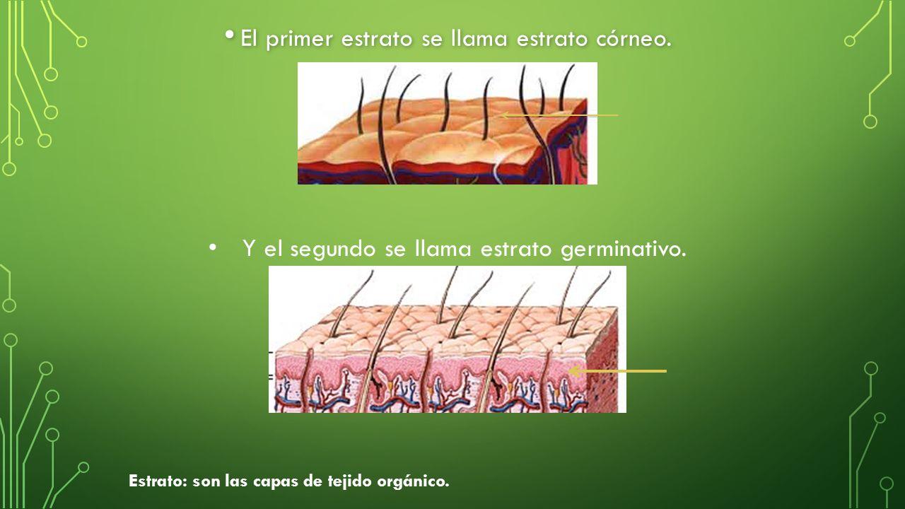 El primer estrato se llama estrato córneo. El primer estrato se llama estrato córneo.