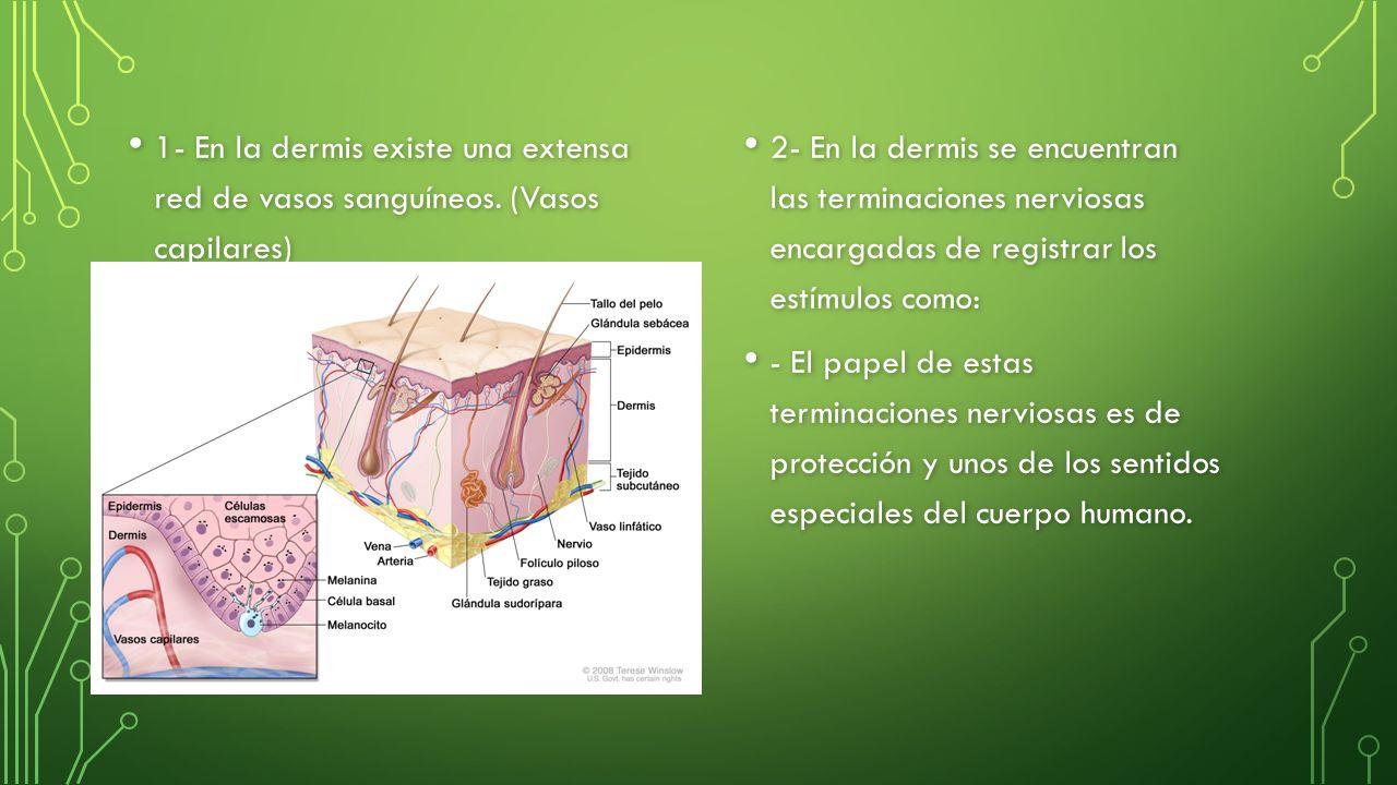 1- En la dermis existe una extensa red de vasos sanguíneos.