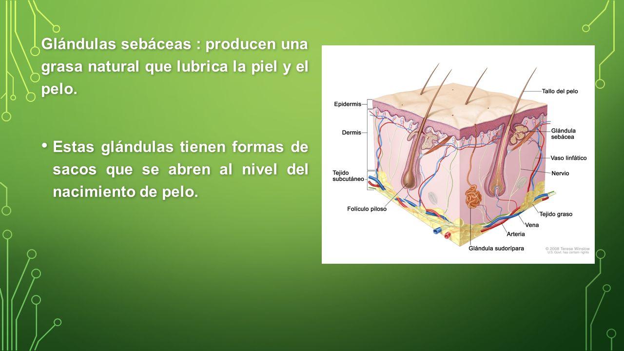 Glándulas sebáceas : producen una grasa natural que lubrica la piel y el pelo.