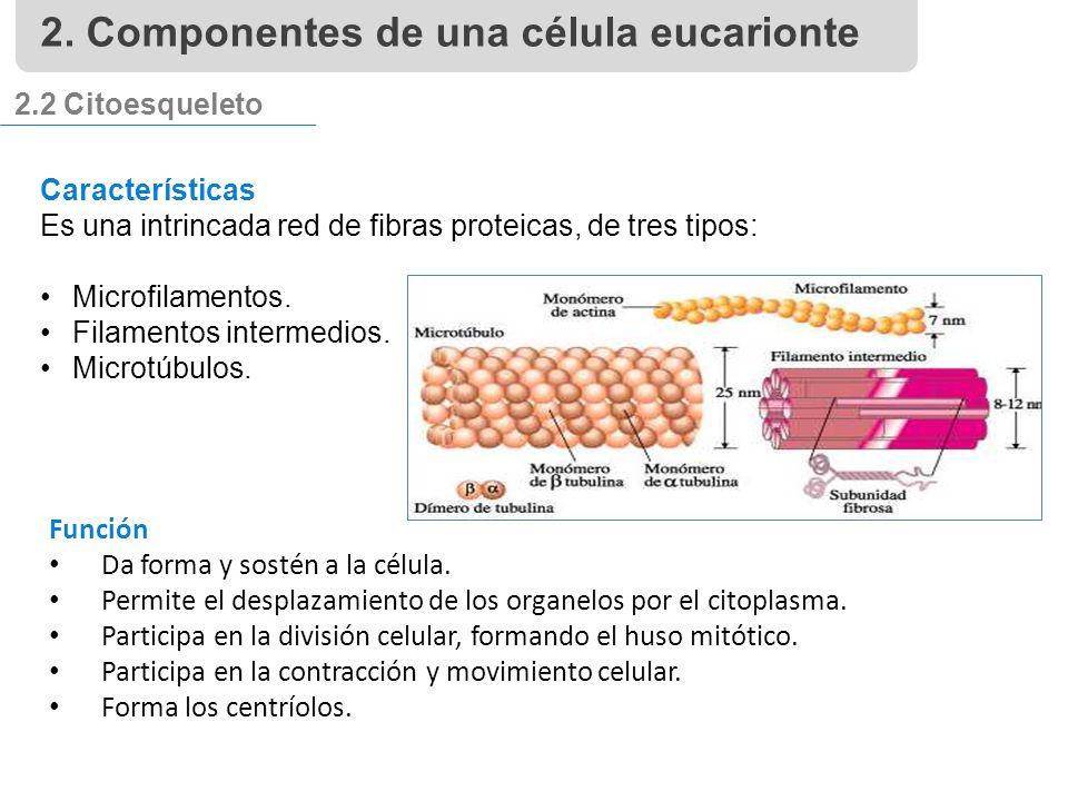 2.2 Citoesqueleto Características Es una intrincada red de fibras proteicas, de tres tipos: Microfilamentos.