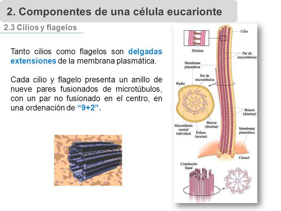 2.3 Cilios y flagelos Tanto cilios como flagelos son delgadas extensiones de la membrana plasmática.