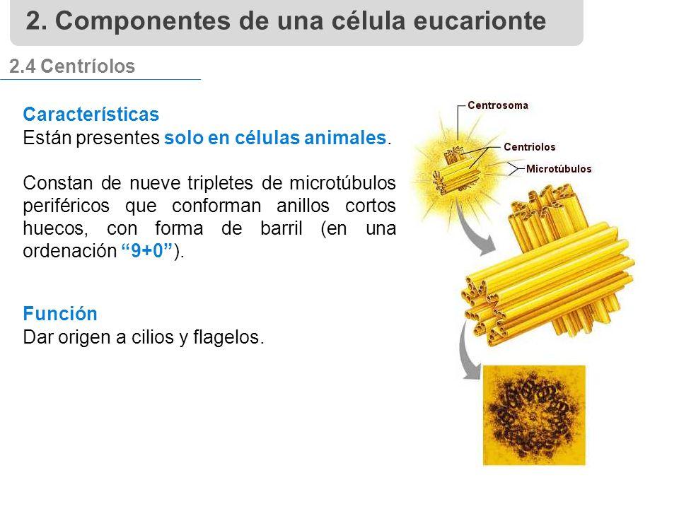 2.4 Centríolos Características Están presentes solo en células animales.
