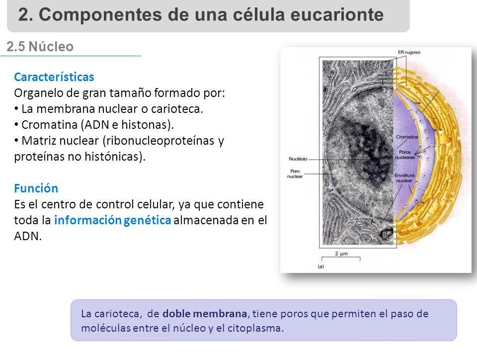 2.5 Núcleo Características Organelo de gran tamaño formado por: La membrana nuclear o carioteca.