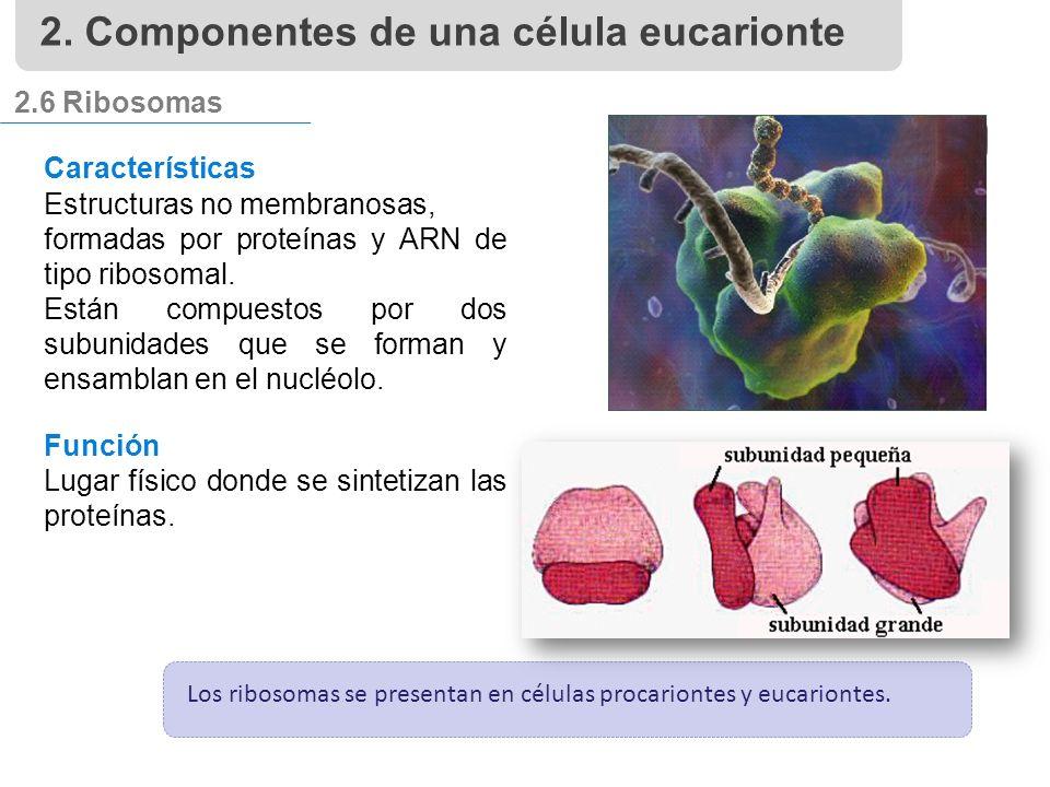 2.6 Ribosomas Características Estructuras no membranosas, formadas por proteínas y ARN de tipo ribosomal.