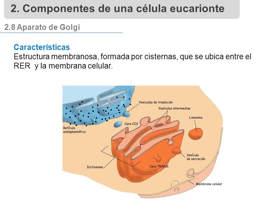 2.8 Aparato de Golgi Características Estructura membranosa, formada por cisternas, que se ubica entre el RER y la membrana celular.