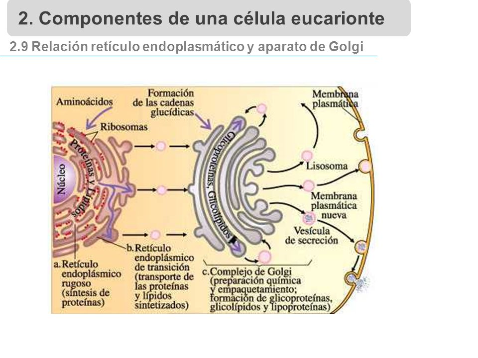 2.9 Relación retículo endoplasmático y aparato de Golgi 2. Componentes de una célula eucarionte