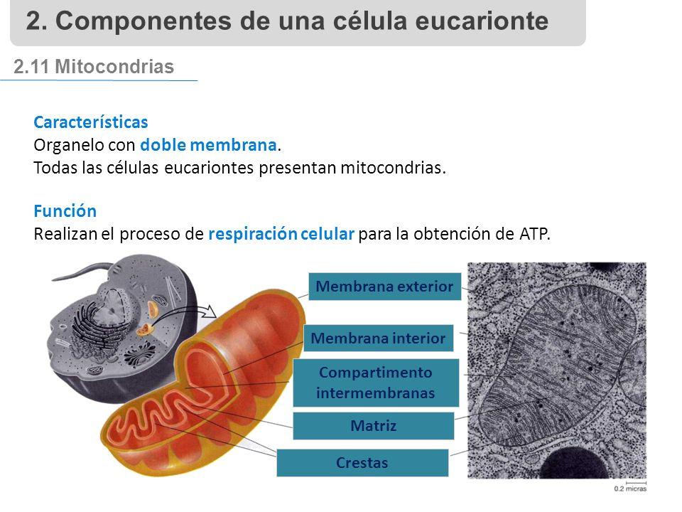 2.11 Mitocondrias Características Organelo con doble membrana.