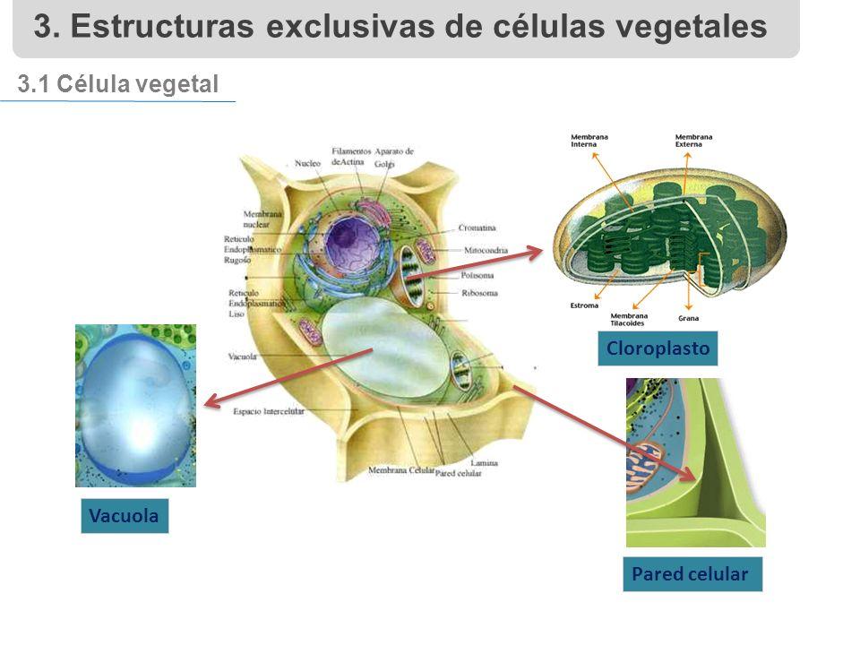 3.1 Célula vegetal Vacuola Pared celular Cloroplasto 3. Estructuras exclusivas de células vegetales