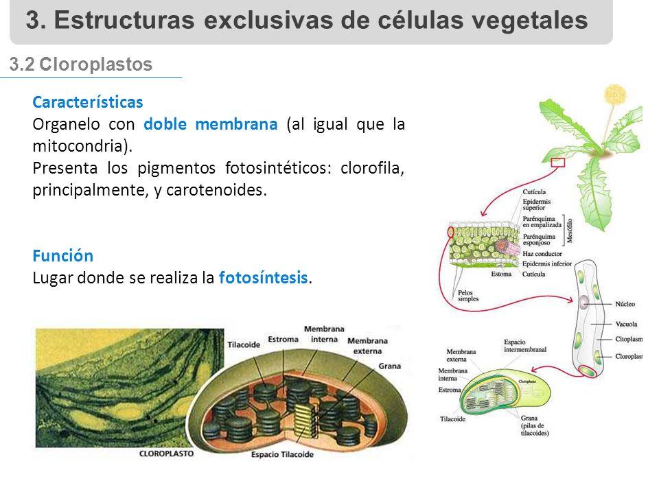 3.2 Cloroplastos Características Organelo con doble membrana (al igual que la mitocondria).