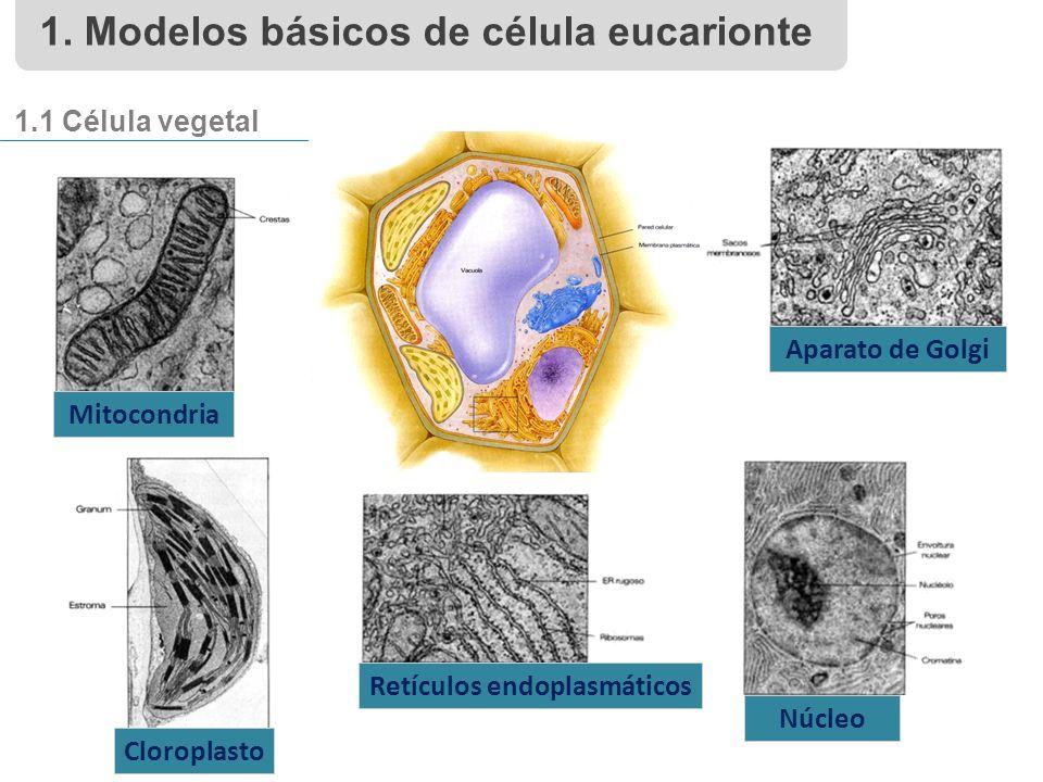Mitocondria Aparato de Golgi Cloroplasto Retículos endoplasmáticos Núcleo 1.1 Célula vegetal 1.