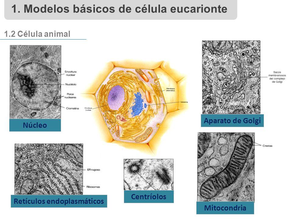 1.2 Célula animal Núcleo Aparato de Golgi Mitocondria Centríolos Retículos endoplasmáticos 1.