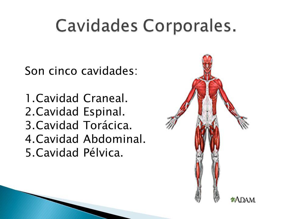 Son cinco cavidades: 1.Cavidad Craneal. 2.Cavidad Espinal.