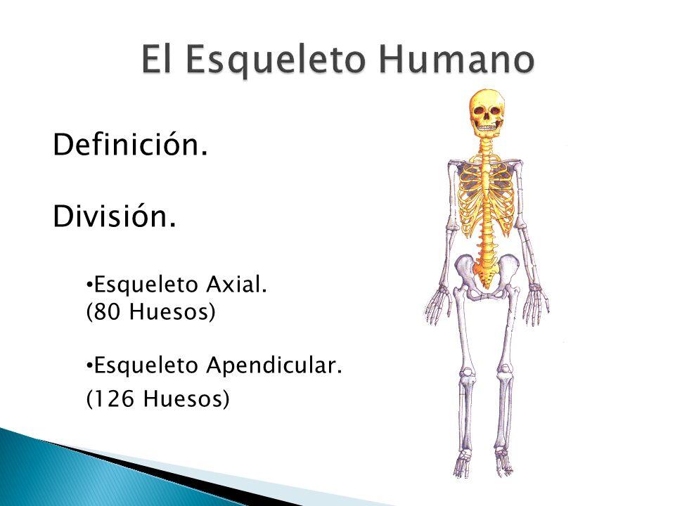Definición. División. Esqueleto Axial. (80 Huesos) Esqueleto Apendicular. (126 Huesos)
