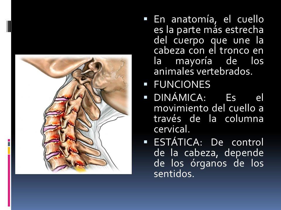 Dorable Anatomía Del Cuello Columna Vertebral Viñeta - Imágenes de ...