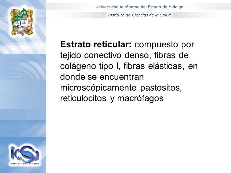 Estrato reticular: compuesto por tejido conectivo denso, fibras de colágeno tipo I, fibras elásticas, en donde se encuentran microscópicamente pastosi